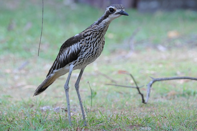 Curlew 2-2