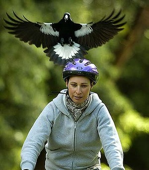 Cyclist and magpie_SMH blog