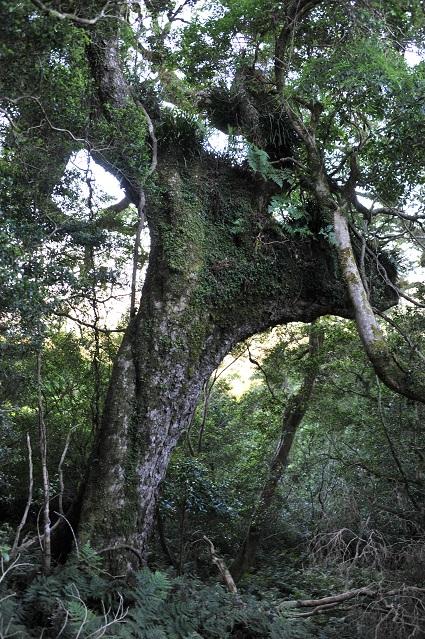 caribou tree