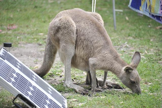 Mummy baby kangaroos