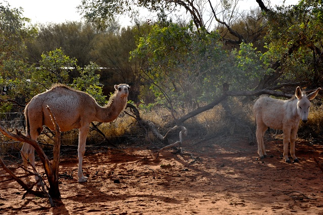 camel donkey